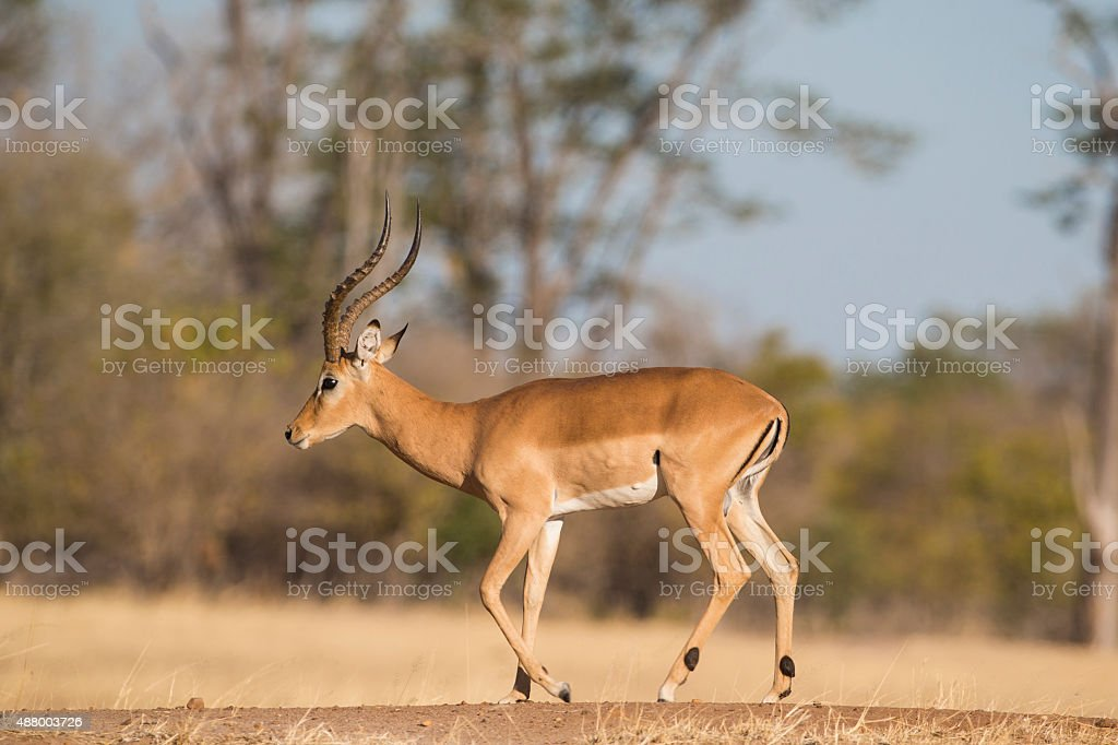 Side view of a male Impala walking stock photo