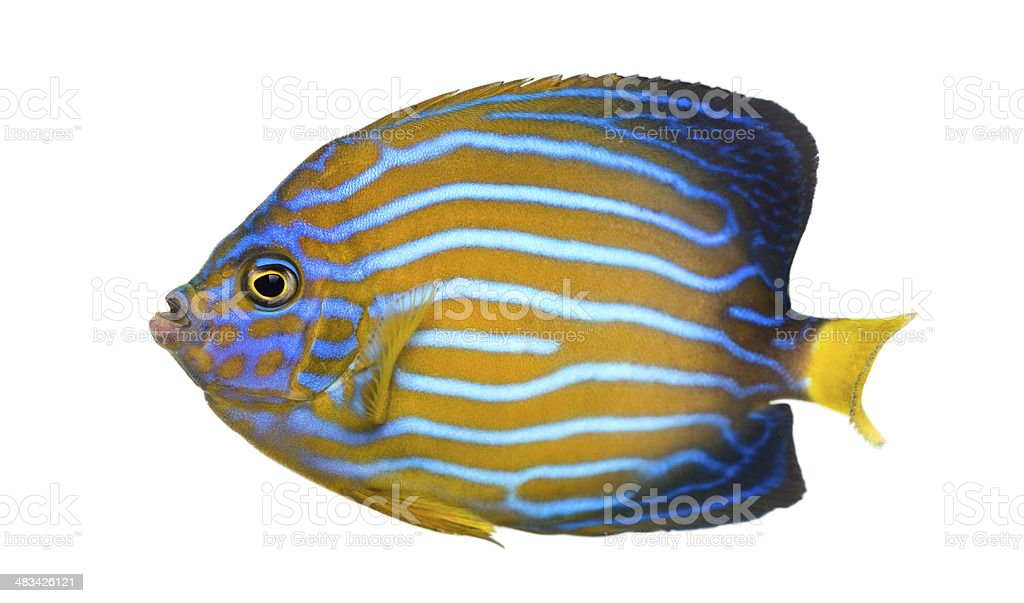 Side view of a Northern Angelfish stock photo