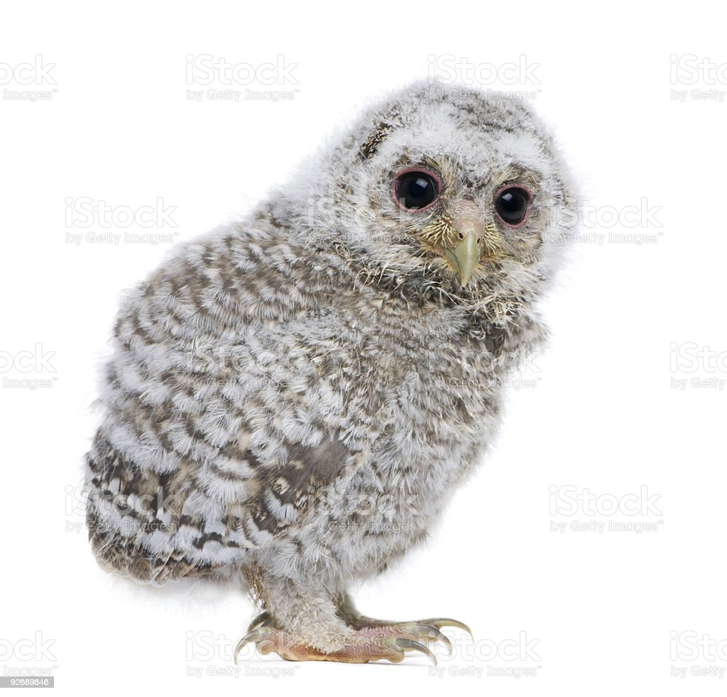 Side view of a owlet (4 weeks old) royalty-free stock photo