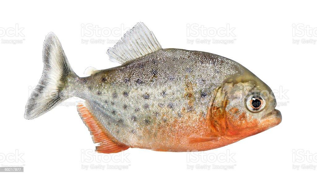 Side view of a Piranha fish - Serrasalmus nattereri royalty-free stock photo