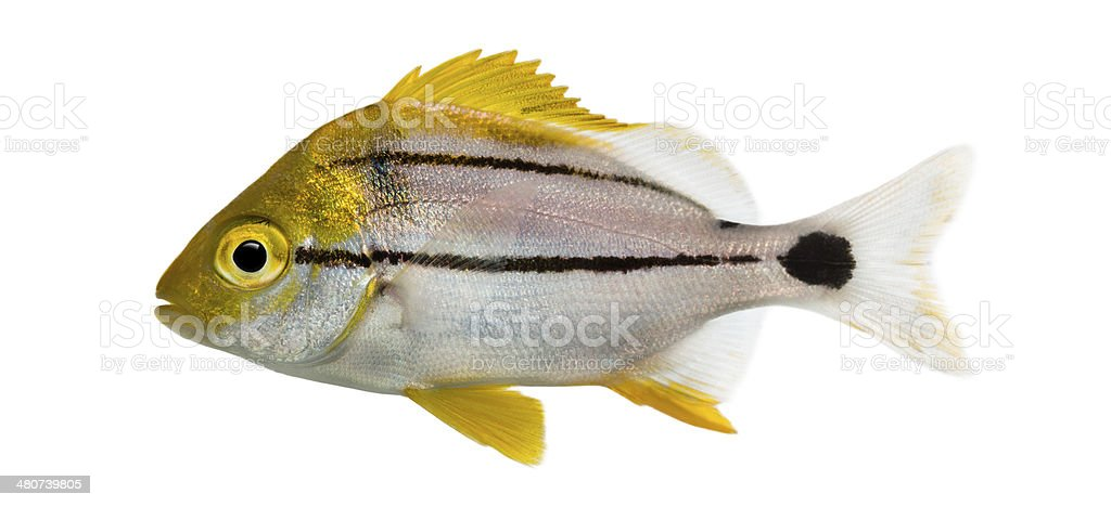 Side view of a Porkfish, Anisotremus virginicus stock photo
