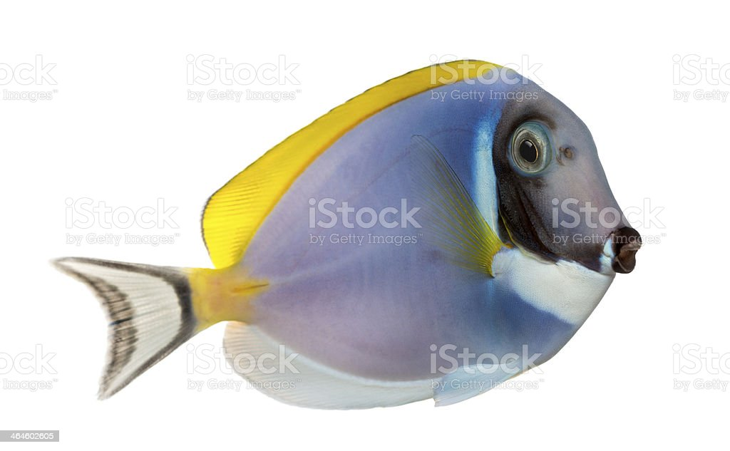 Side view of a Powder blue tang, Acanthurus leucosternon, isolated stock photo