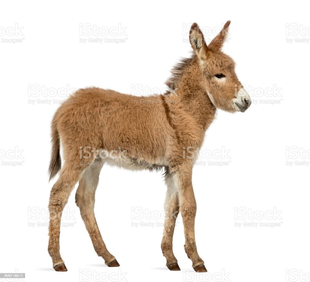 Side view of a Provence donkey foal isolated on white stock photo