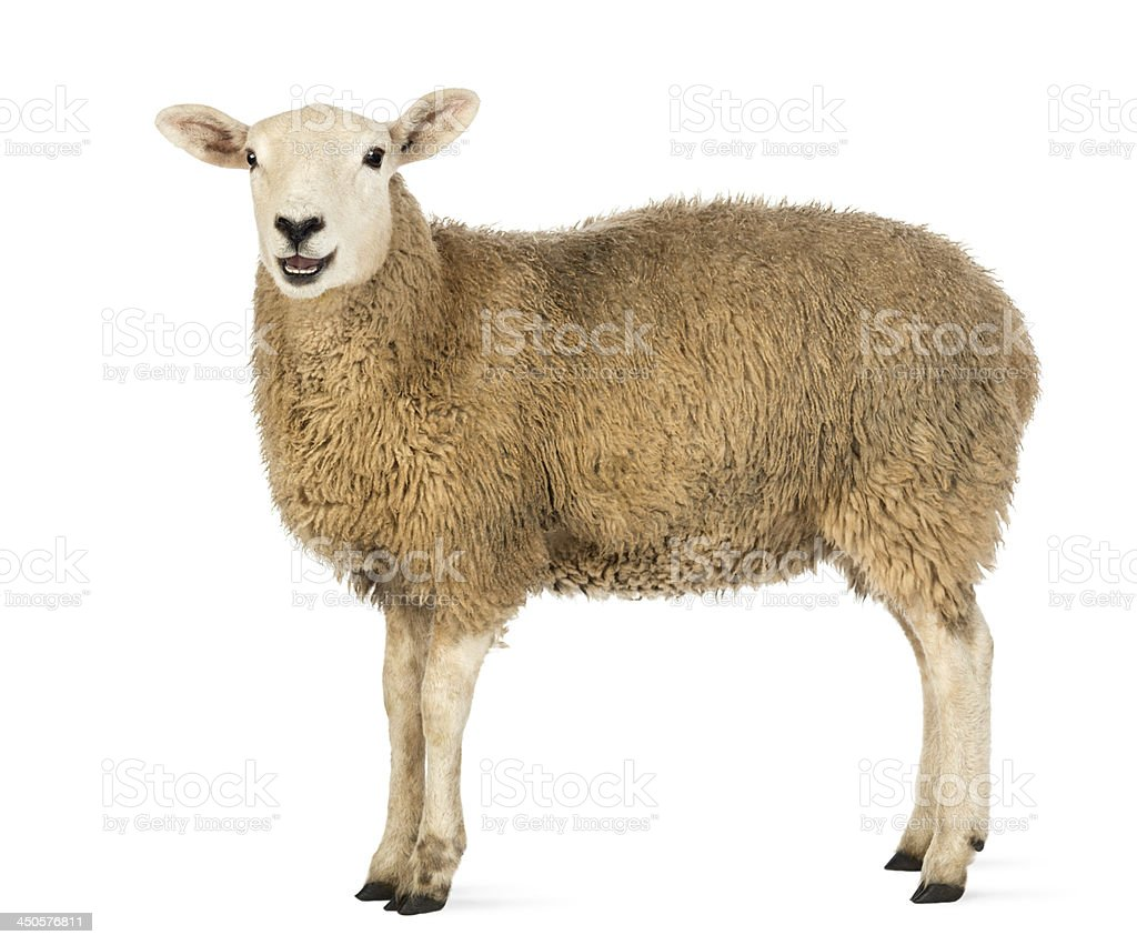 Side view of a Sheep looking at camera stock photo