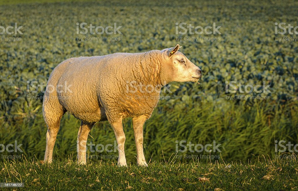 Side view of a sheep royalty-free stock photo
