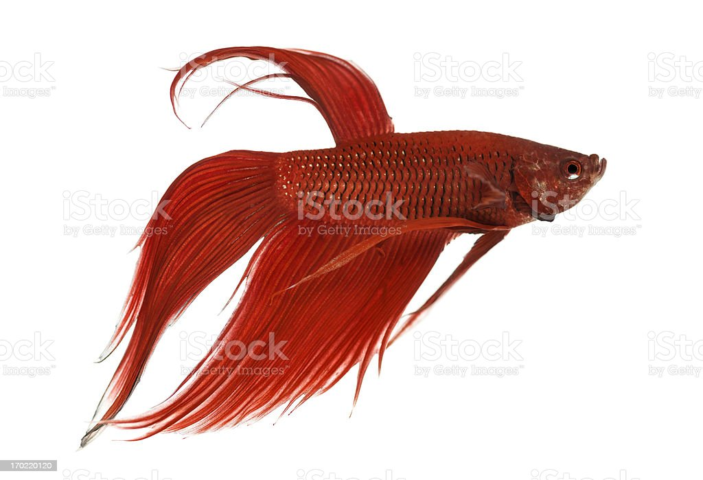 Side view of a Siamese fighting fish, Betta splendens royalty-free stock photo