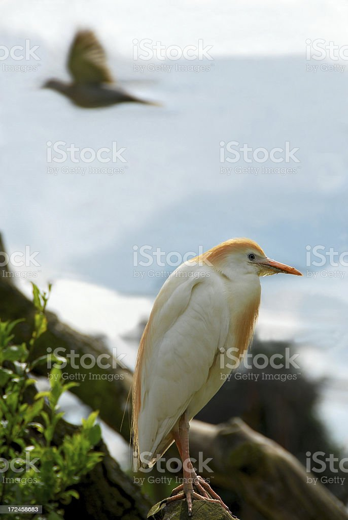 Side view of a single Cattle Egret. stock photo