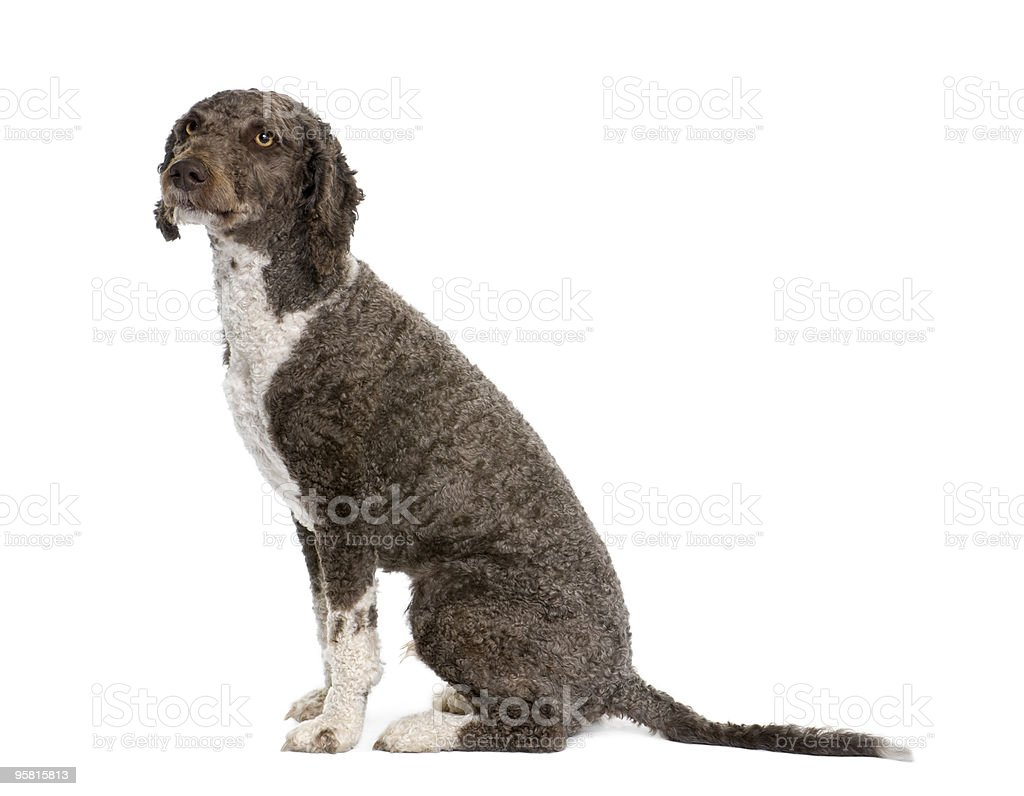 Side view of a sitting Spanish water spaniel dog stock photo