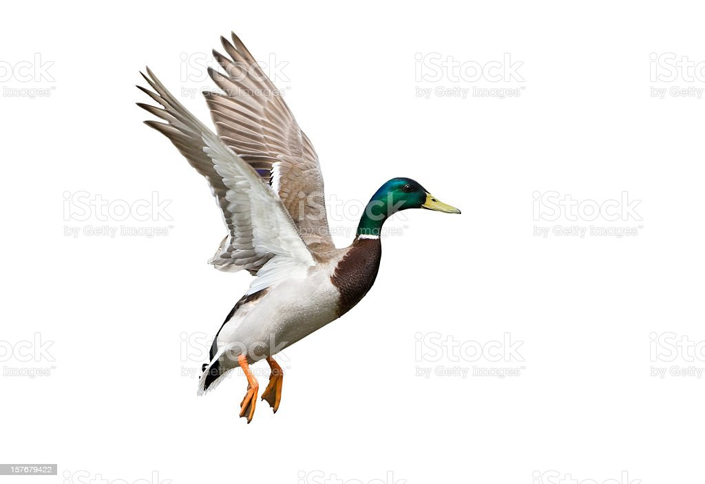 Side view of a white, green and brown Flying Mallard Drake stock photo