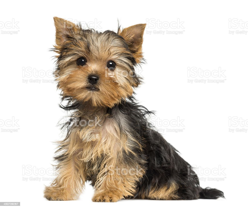 Side view of a Yorkshire Terrier puppy sitting stock photo