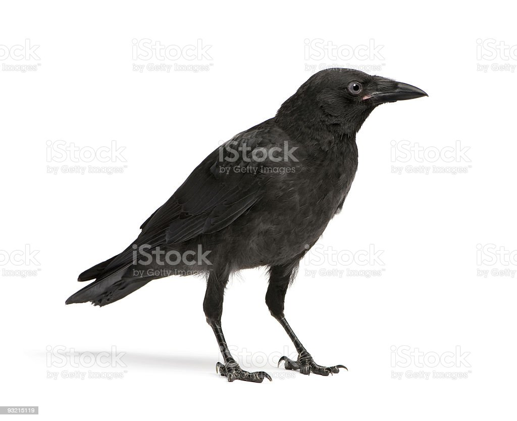 Side view of a young crow isolated on white stock photo