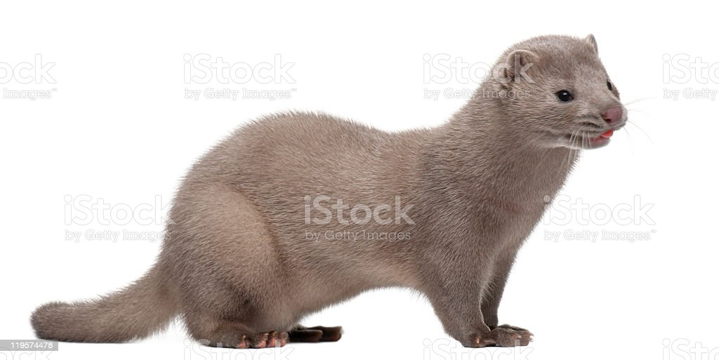 Side view of American Mink, Neovison Vison, 3 months old. stock photo