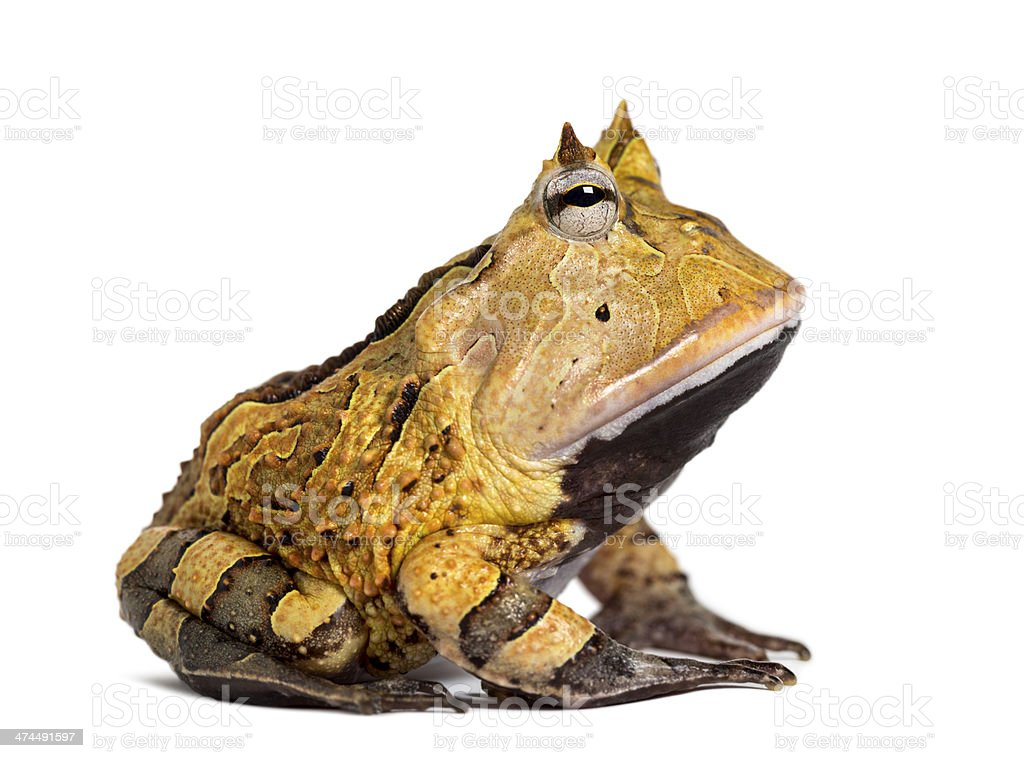 Side view of an Argentine Horned Frog, Ceratophrys ornata stock photo