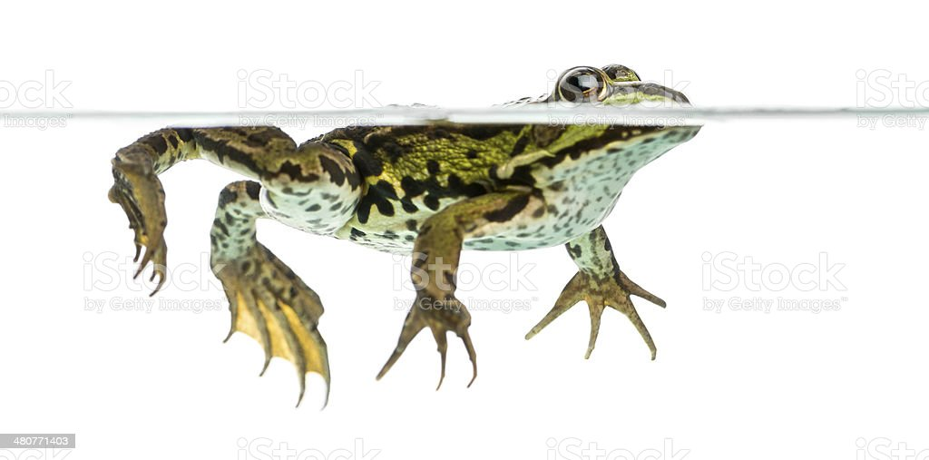 Side view of an Edible Frog swimming at the surface royalty-free stock photo