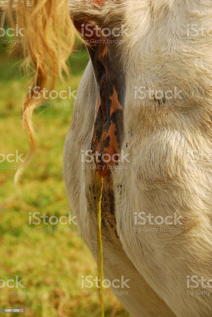 Side view of an urinating Charolais Cow stock photo