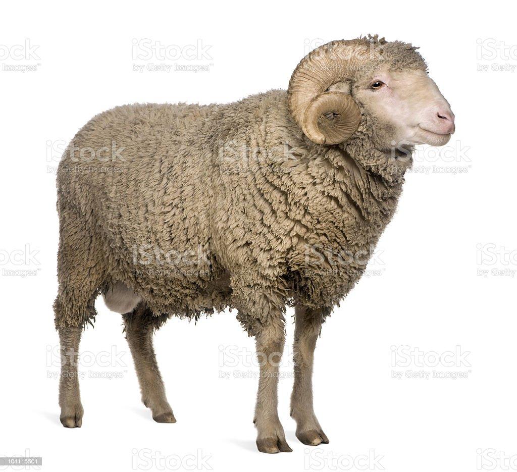 Side view of Arles Merino sheep, standing stock photo