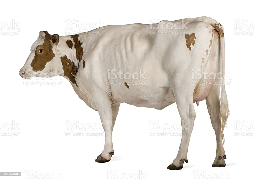 Side view of Ayrshire cow, 4 years old, standing. stock photo