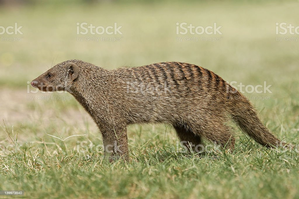 Side view of banded mongoose standing in grass stock photo