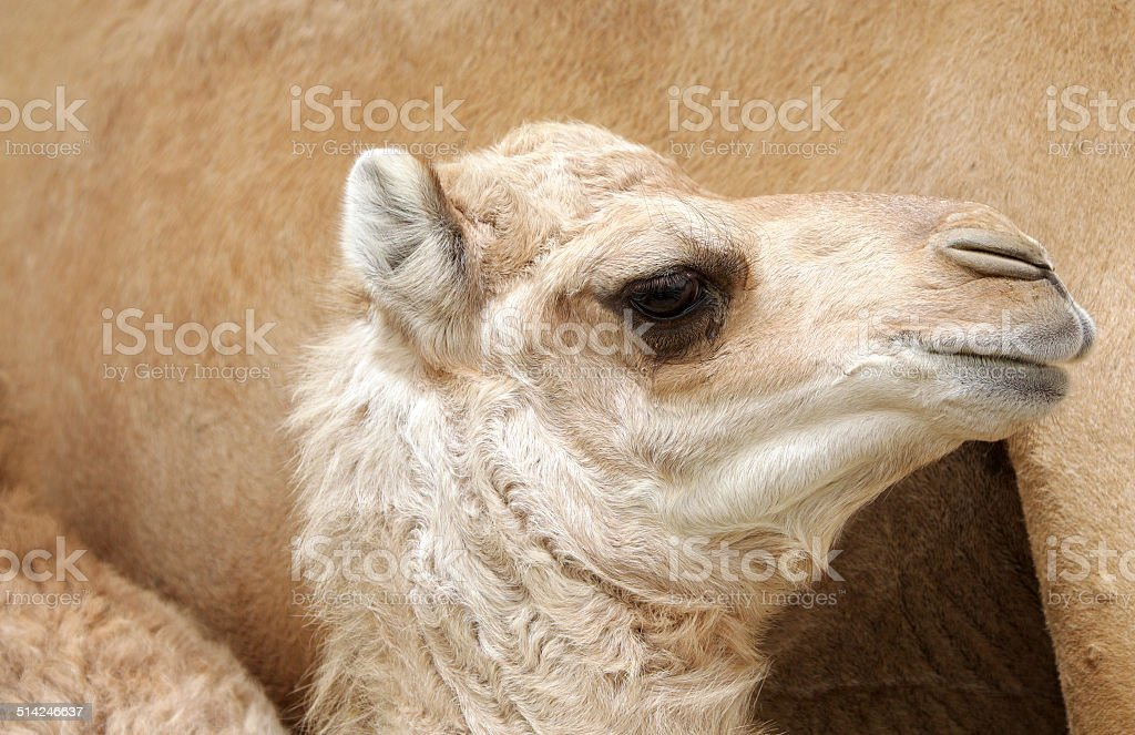 Side view of beautiful camel calf stock photo