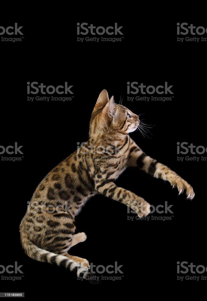 Side view of Bengal kitten playing royalty-free stock photo