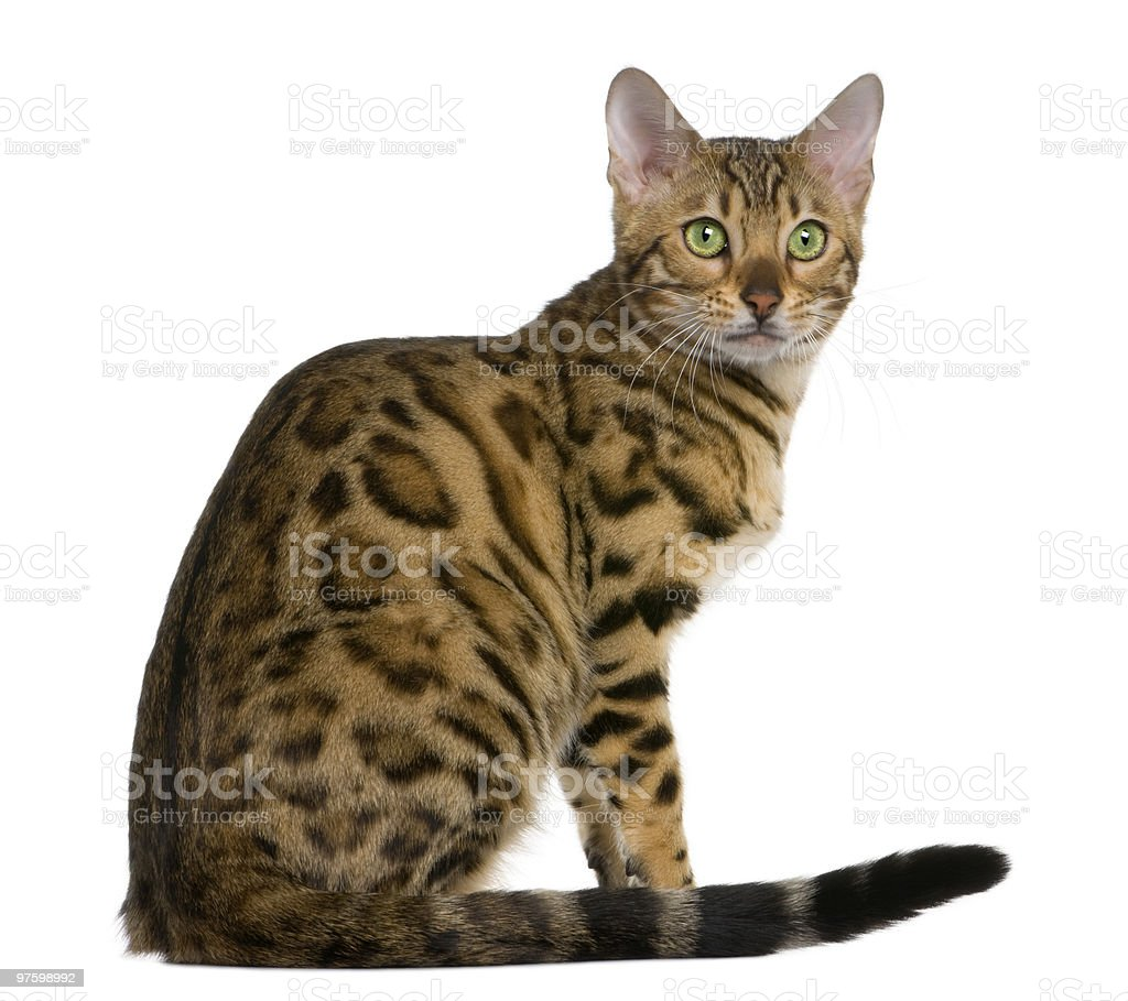 Side view of Bengal kitten, sitting and looking away stock photo