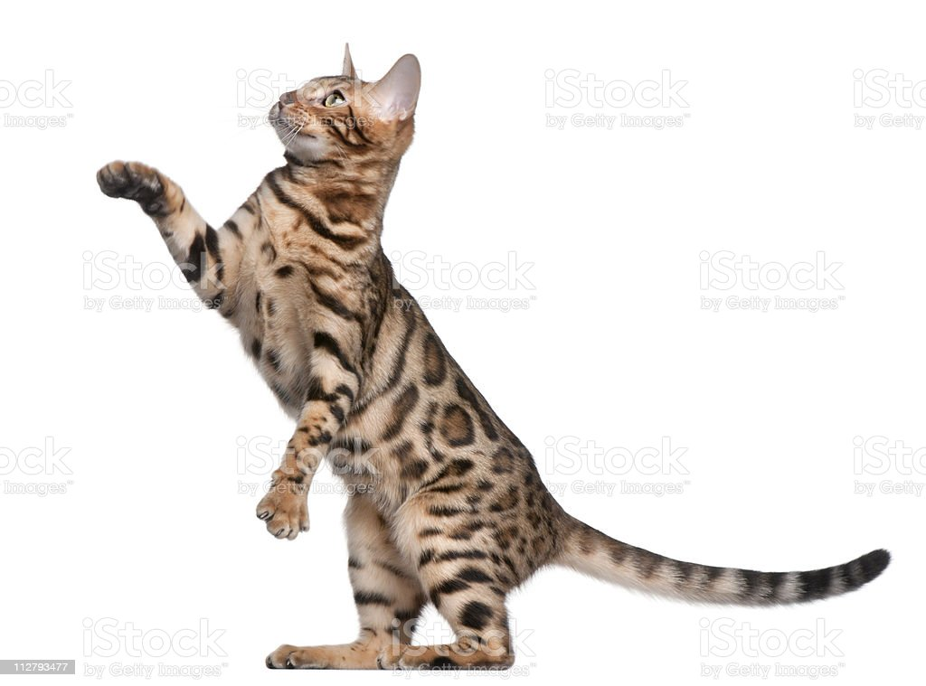 Side view of Bengal kitten, with paw up, white background stock photo