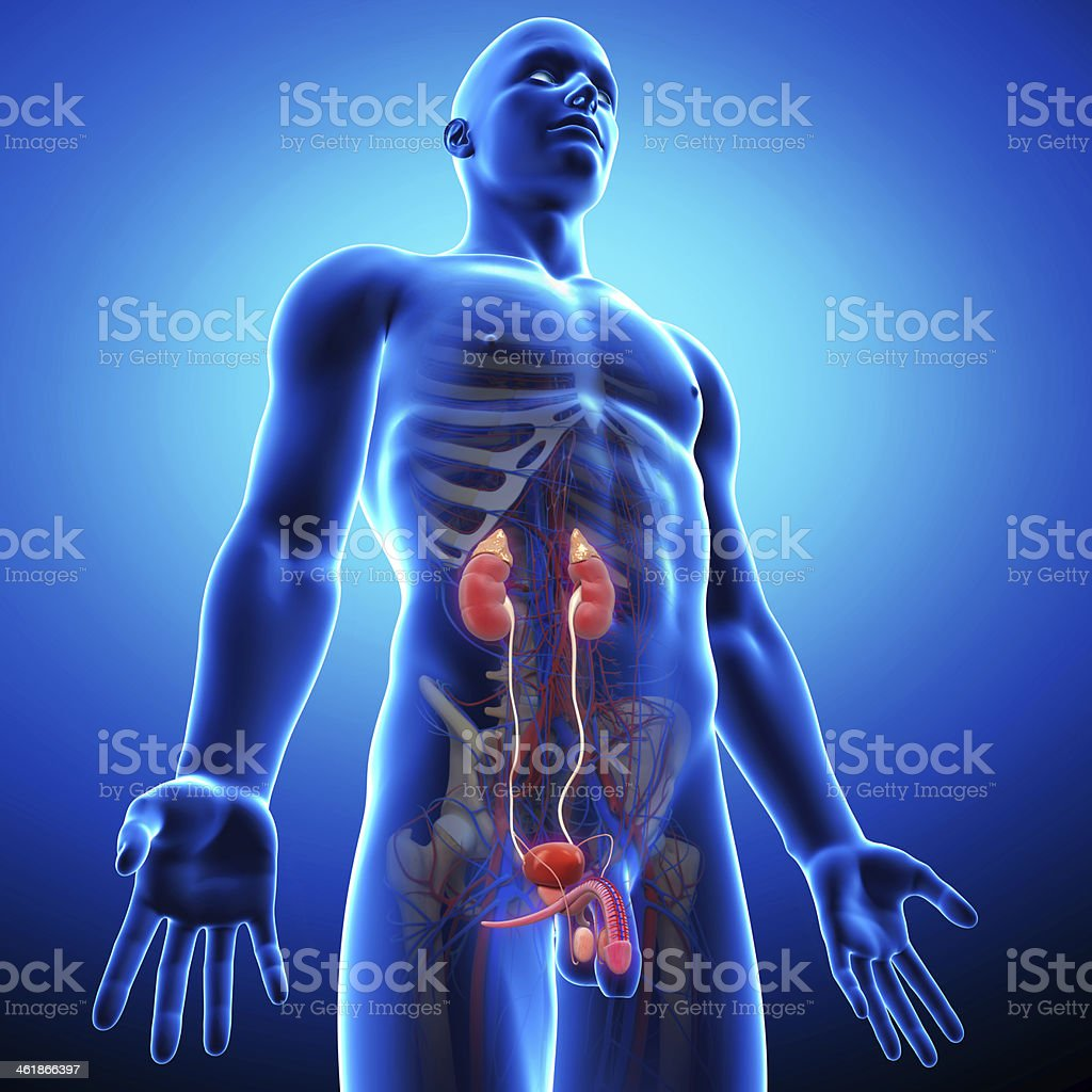 side view of blue urinary system stock photo