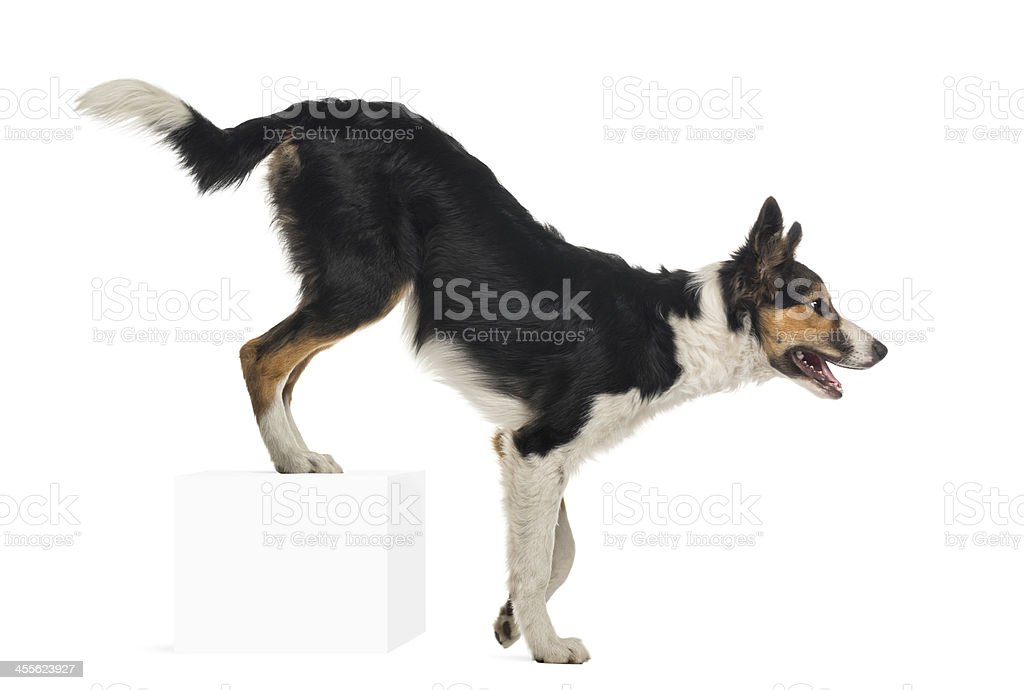 Side view of Border collie, rear legs up on cube stock photo
