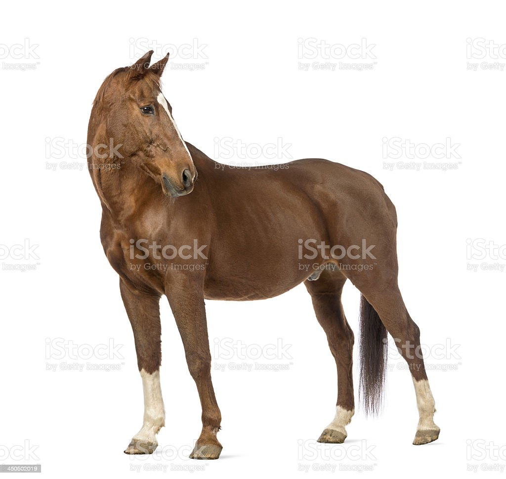 Side view of brown horse with head turned back royalty-free stock photo