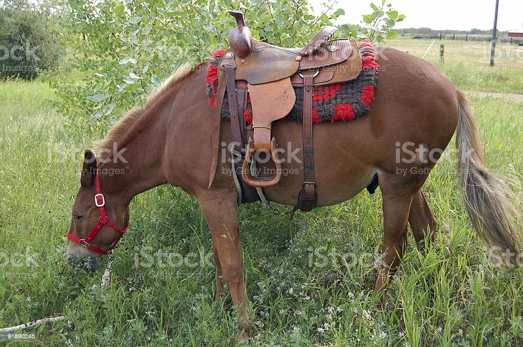 Side view of brown mule with a harness and saddle royalty-free stock photo
