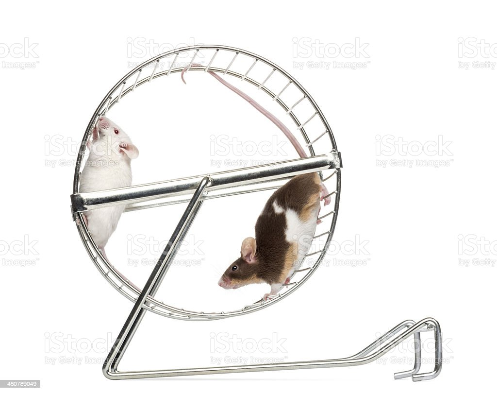 Side view of Common house mice playing in a wheel stock photo
