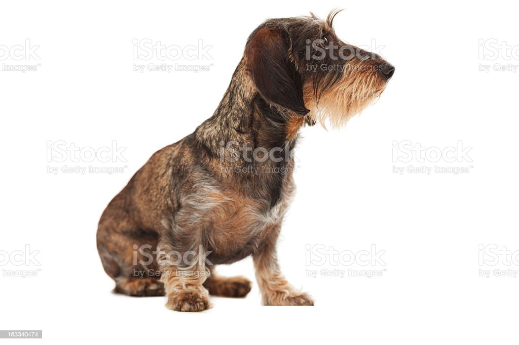 Side view of cute wire-haired dachshund looking away stock photo