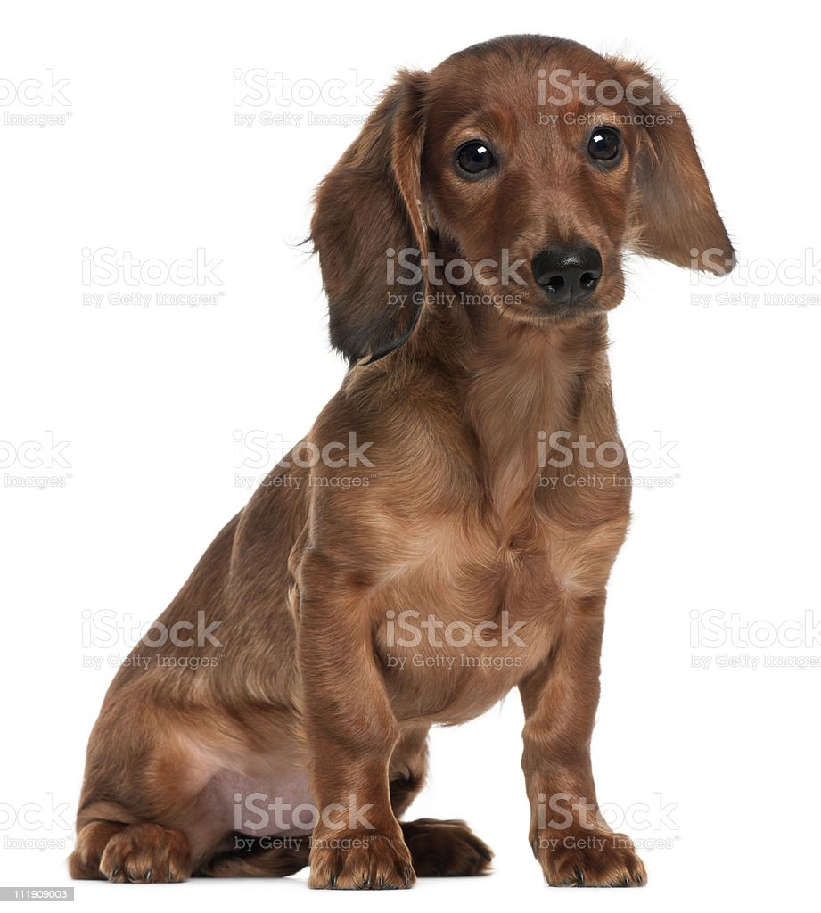 Side view of Dachshund, 5 months old, sitting, white background. royalty-free stock photo