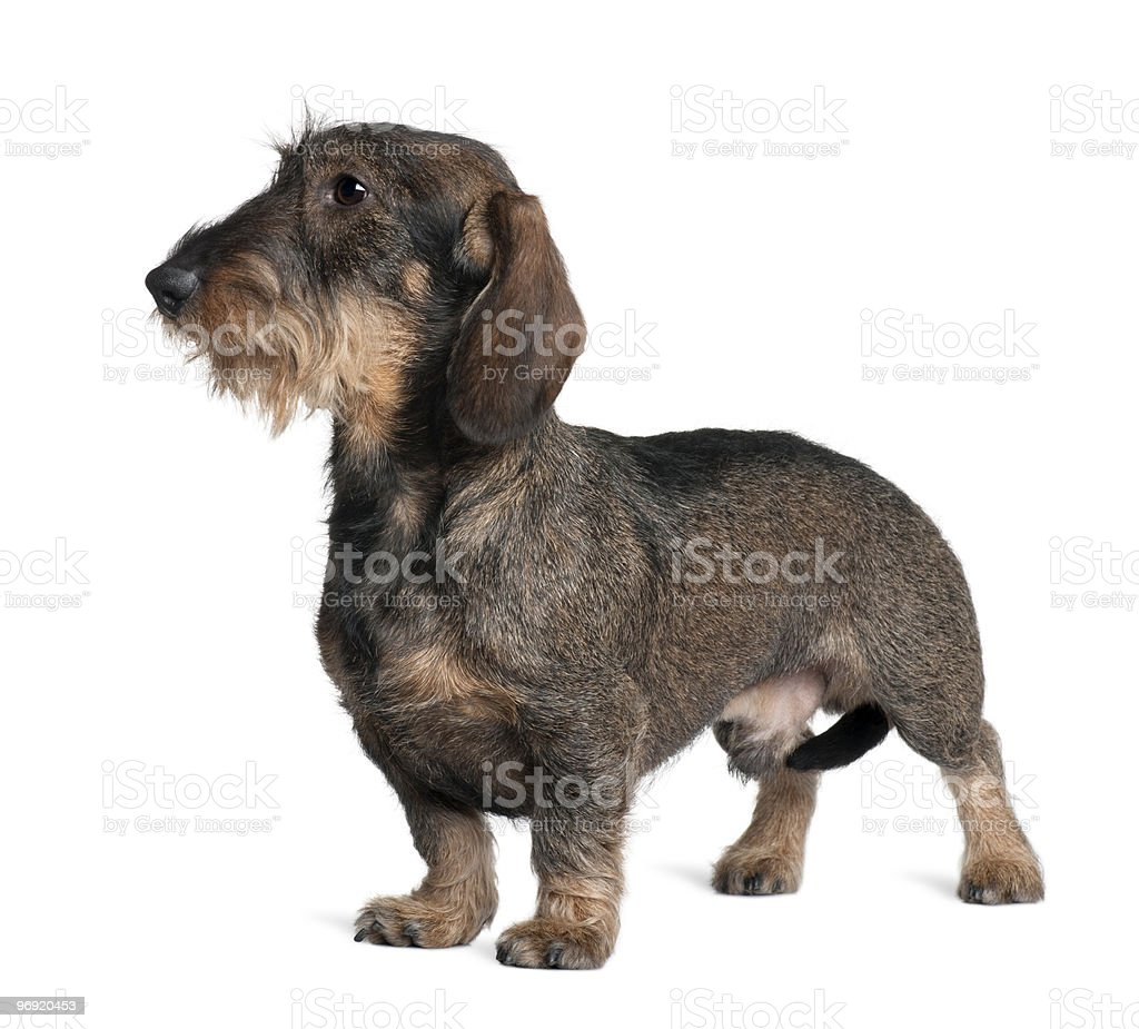 Side view of Dachshund standing and looking away royalty-free stock photo