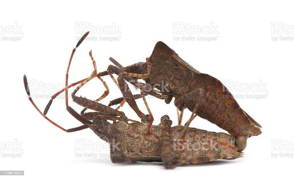 Side view of Dock bugs mating, Coreus marginatus. stock photo