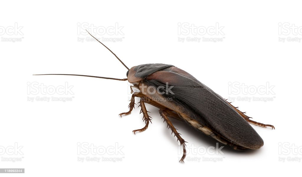 Side view of Dubia cockroach, standing stock photo