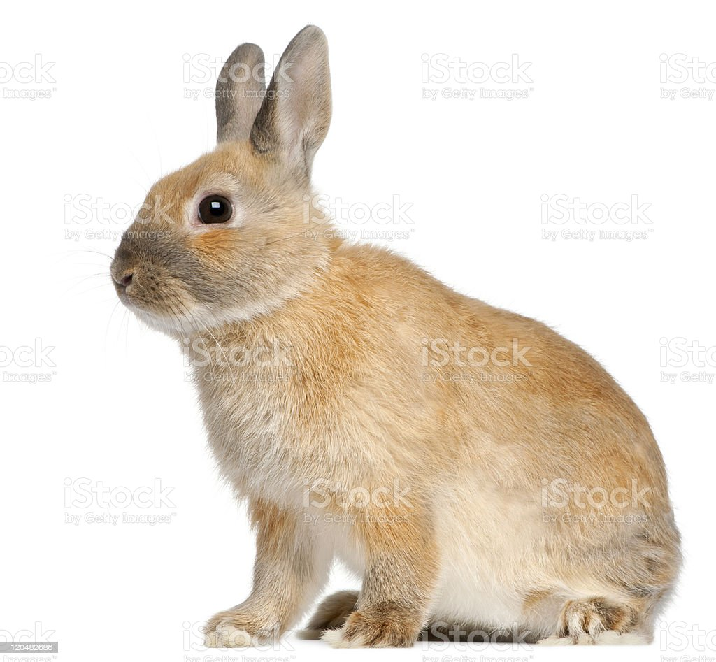 Side view of Dwarf rabbit, 6 months old, white background. royalty-free stock photo