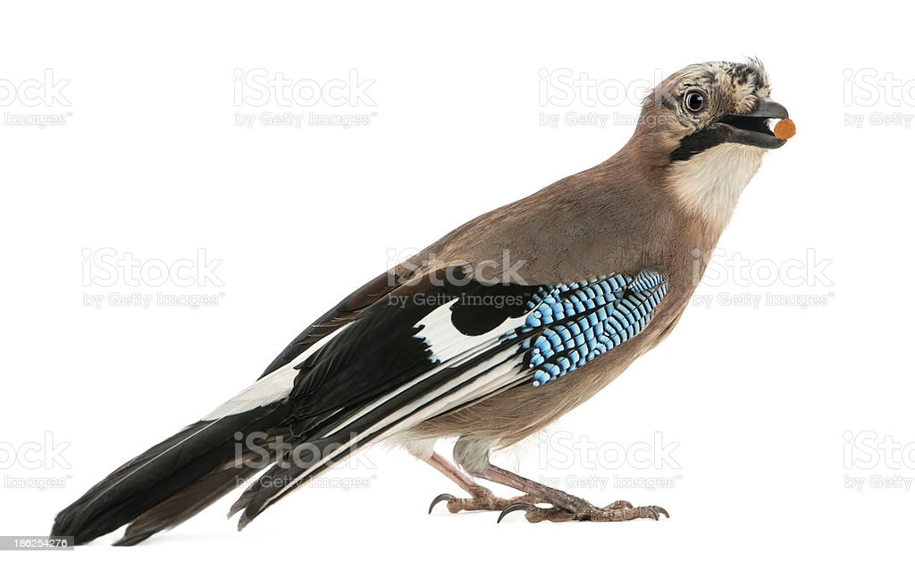 Side view of Eurasian Jay with food in the beak stock photo