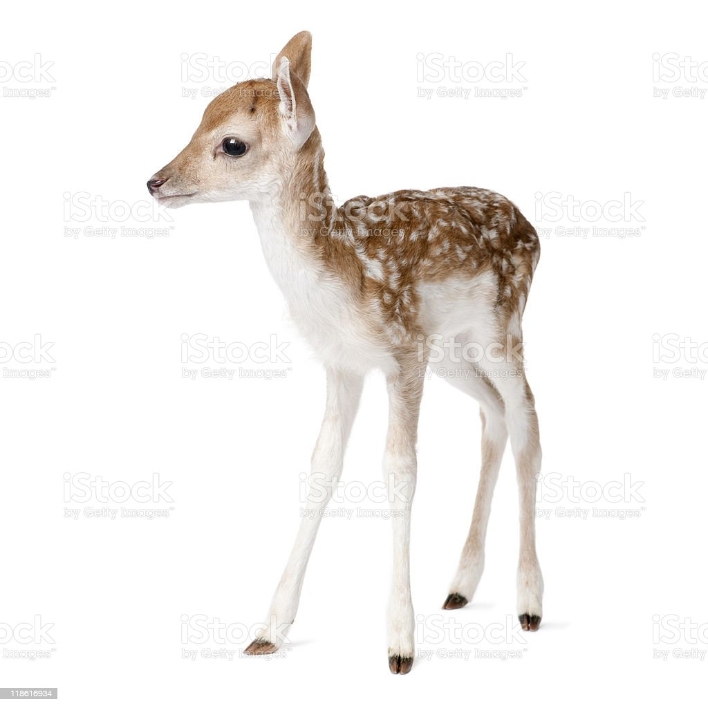 Side view of Fallow Deer Fawn tanding against white background stock photo