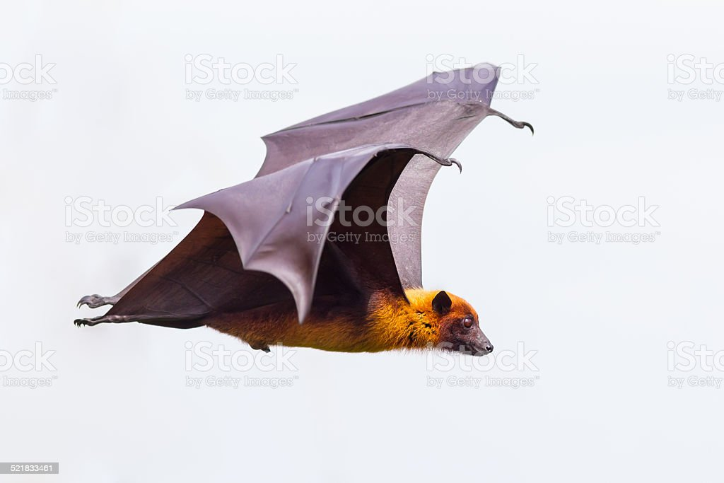 Side view of flying male Lyle's flying fox stock photo