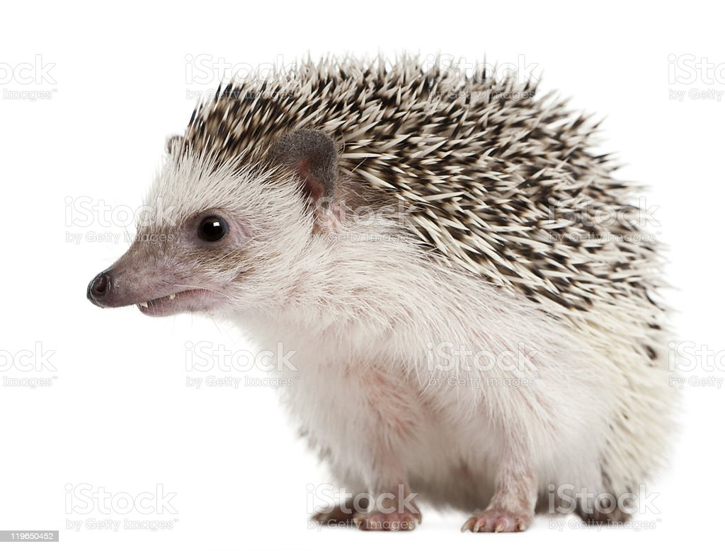 Side view of Four-toed Hedgehog, Atelerix albiventris, looking away. royalty-free stock photo