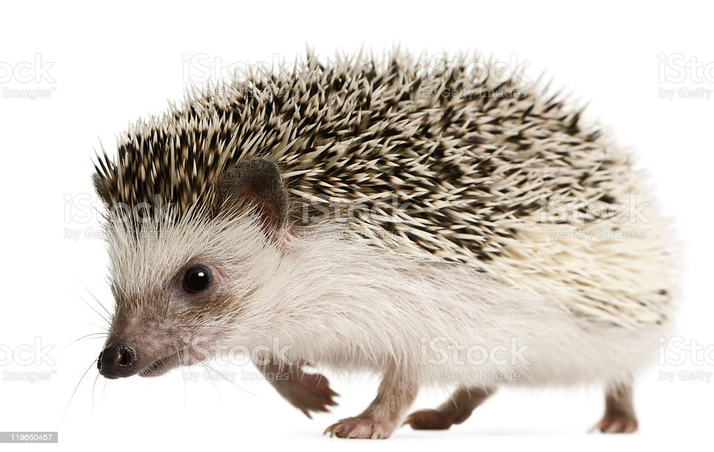 Side view of Four-toed Hedgehog, Atelerix albiventris, walking. stock photo