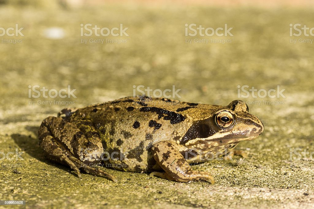 Side View of Frog royalty-free stock photo