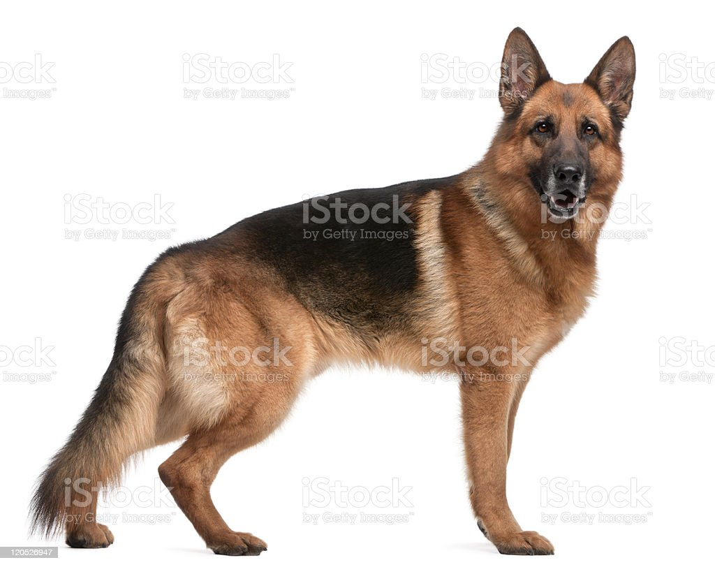 side view of German Shepherd, standing, white background stock photo
