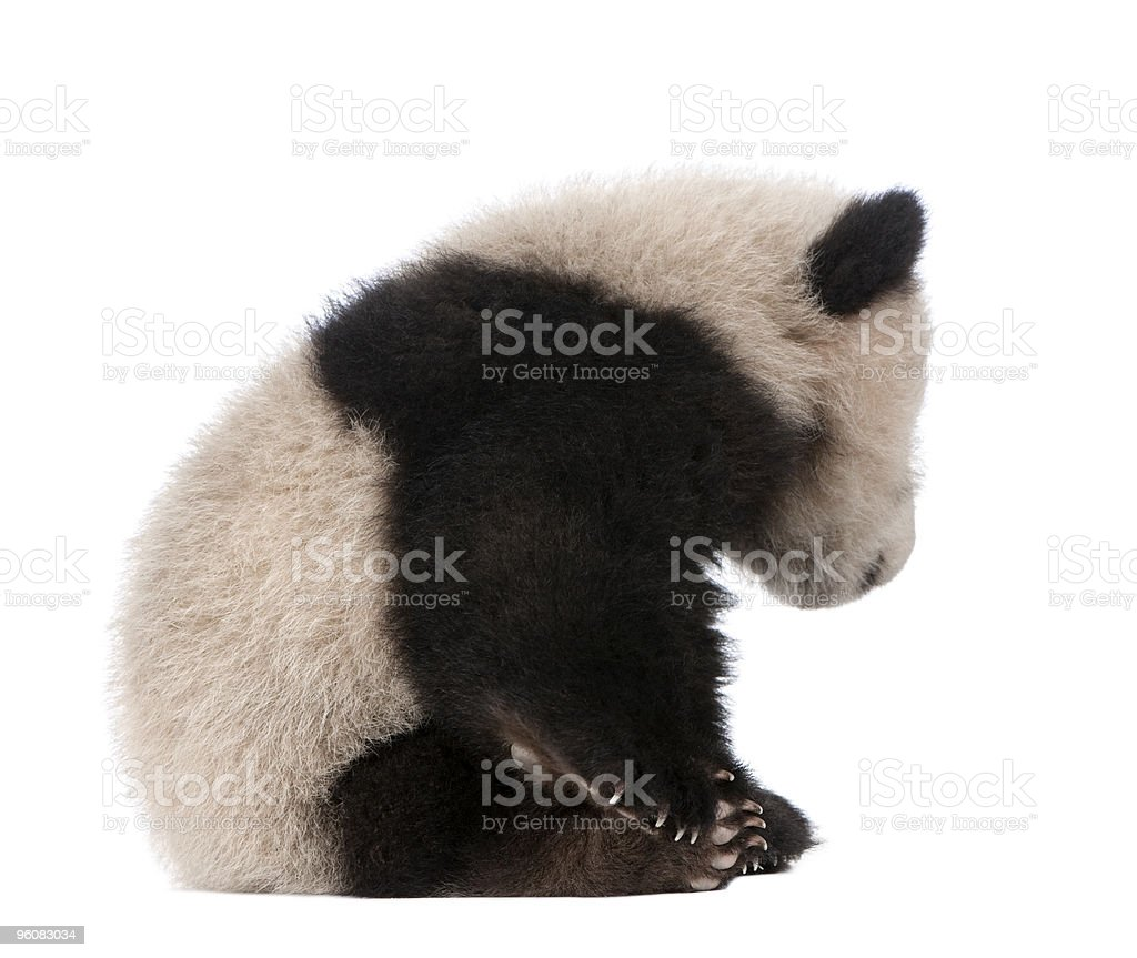 Side View of Giant Panda sitting and looking down stock photo