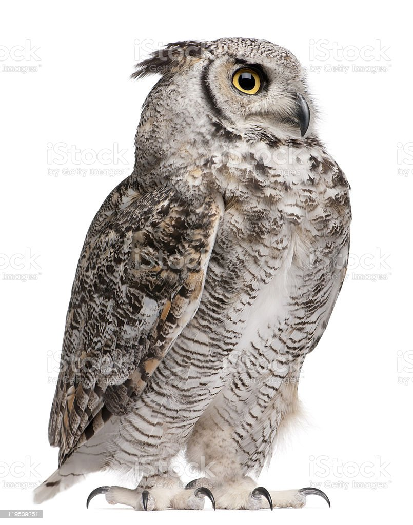 Side view of Great Horned Owl, Bubo Virginianus Subarcticus, standing. stock photo