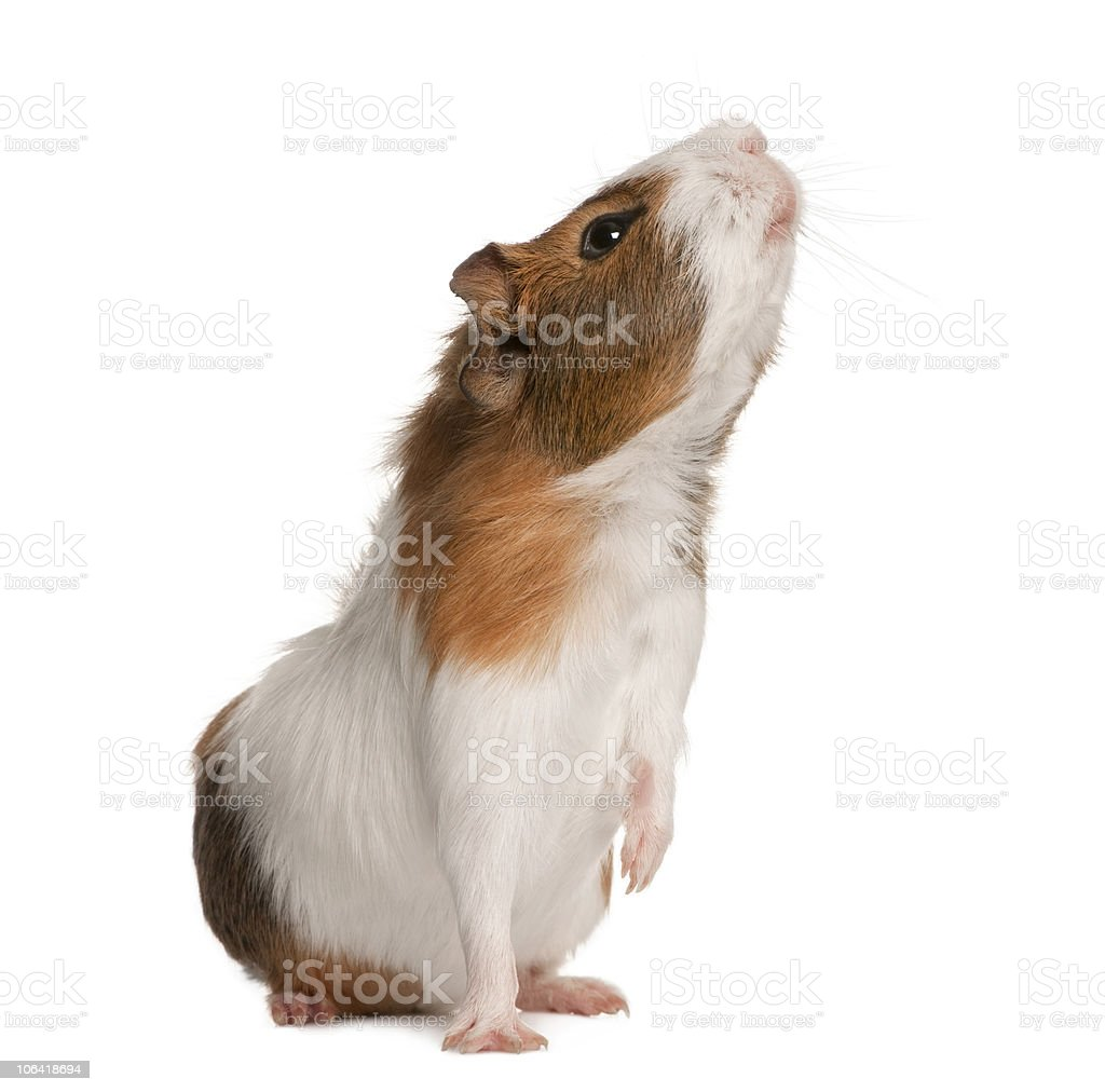 Side view of Guinea pig, Cavia porcellus, sniffing. stock photo