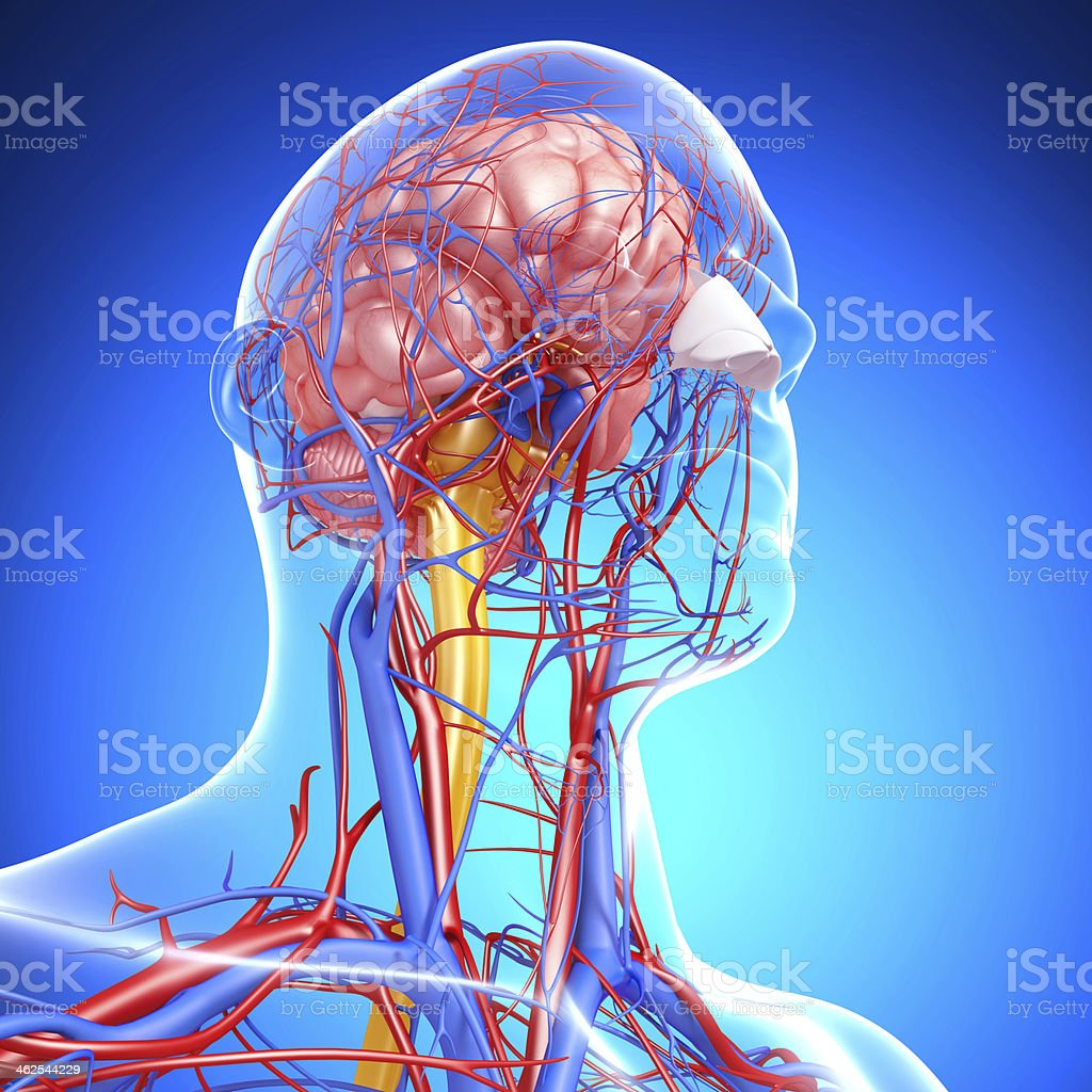 side view of head circulatory system and nervous royalty-free stock photo
