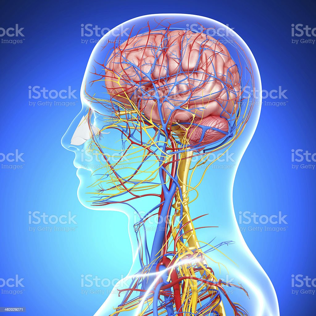 side view of head circulatory system stock photo
