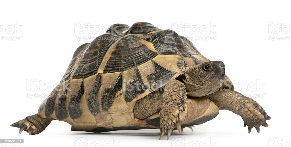 Side view of Hermann's tortoise, Testudo hermanni, walking, white background. stock photo